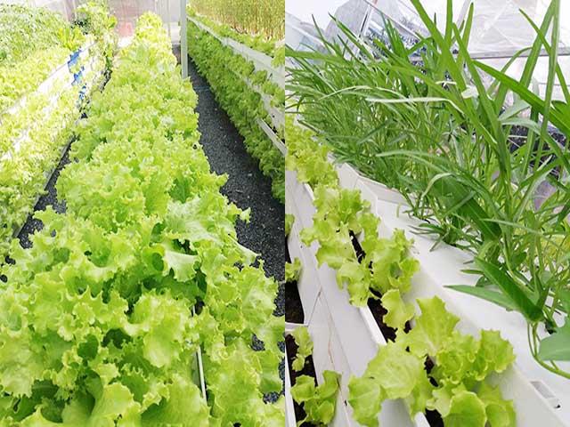 8X Sài Thành thành công với mô hình trồng rau sạch thổ canh từ sáng chế độc đáo