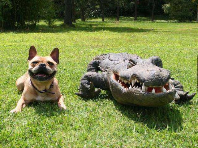 Chú chó hóa trang thành cá sấu để dọa người đi đường