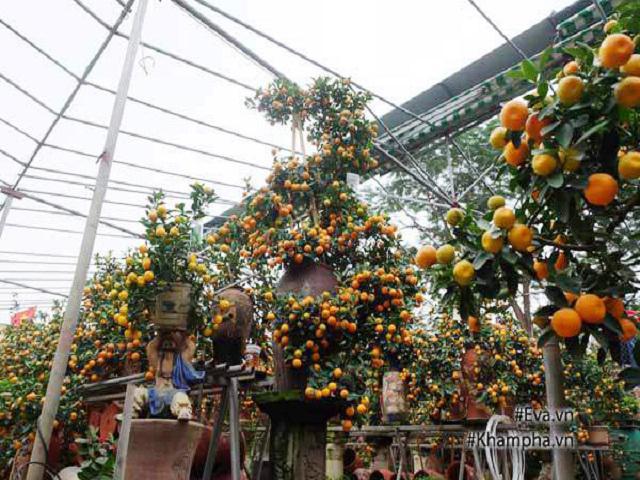 Chiêm ngưỡng cây quất khủng tạo dáng Kim Long Bạch Mã, trả trăm triệu không bán