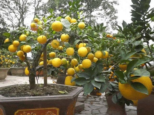 Chanh vàng bonsai phú quý độc lạ thế nào mà đang gây