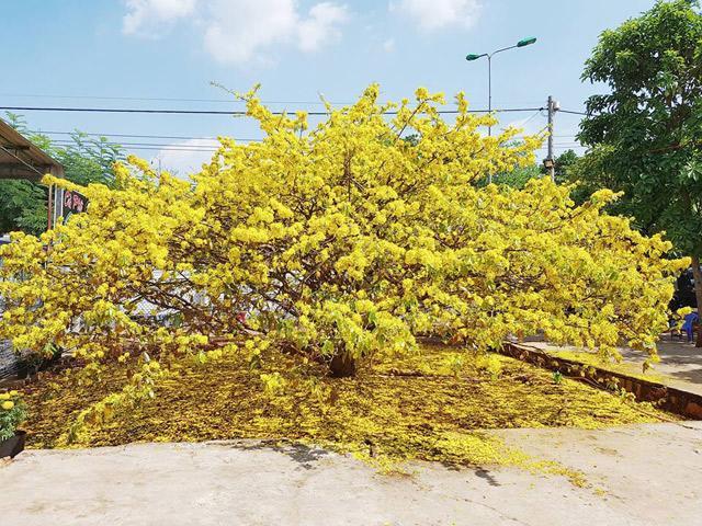 Sửng sốt trước vẻ rực rỡ choáng ngợp của cây hoa mai vàng khổng lồ ở Đồng Nai