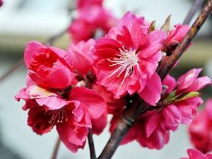 Dân Nhật Tân tiết lộ cách để hoa đào được tươi lâu trong ngày Tết