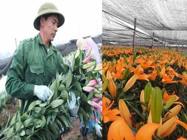Hà Nội: Hoa ly nở rộ sau tết, dân khóc ròng vì bán chẳng ai mua