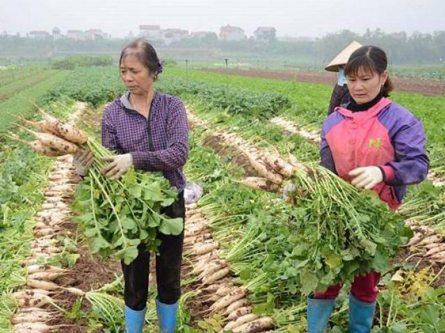 Hà Nội: 500 đồng/1kg củ cải không ai mua, người dân đau xót đổ hàng chục tấn xuống sông Hồng