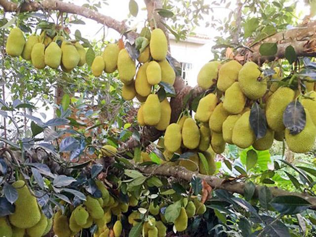 Lạ đời những cây mít siêu mắn cho hàng trăm quả lúc lỉu trên cây khiến người xem choáng váng