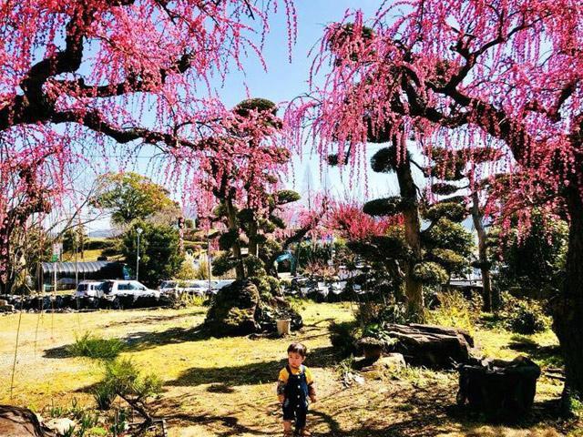 Ghé thăm Nhật Bản những ngày giữa tháng 3 ngắm rừng hoa mơ ngập tràn sắc màu