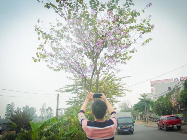 Ảnh: Dân làng ngỡ ngàng vì vẻ đẹp của rừng hoa ban ven đô Hà Nội