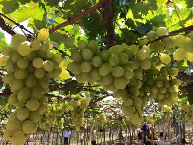 Đã mắt với vườn nho chín lúc lỉu ở Ninh Thuận