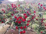 Cây hồng cổ đắt tiền mang lại giá trị phong thủy như thế nào?