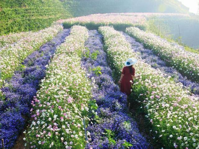 Cánh đồng hoa mới toanh ở Đà Lạt đẹp ngất ngây đốn tim giới trẻ