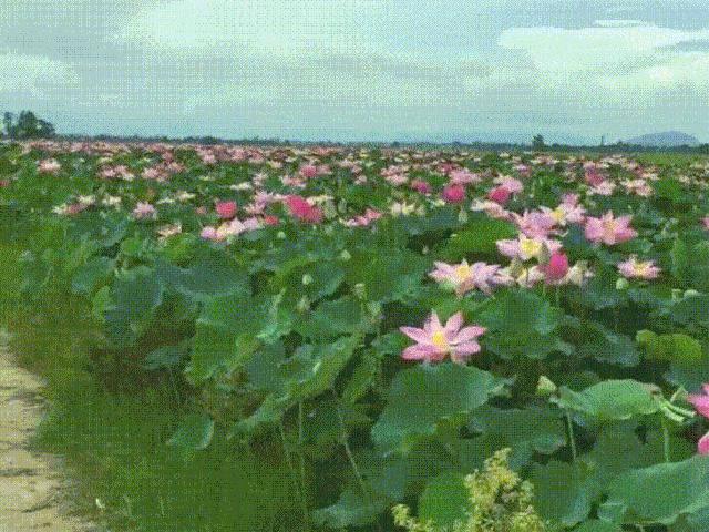 Choáng ngợp trước cánh đồng hoa sen siêu khủng nở rộ rực rỡ, dài rộng ngợp trời ở An Giang