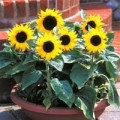 Nhà đẹp - Kiếm hạt trồng hoa hướng dương làm cảnh
