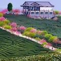 Xem & Đọc - Ngắm cánh hoa anh đào Nhật Bản trong gió