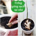 Nhà đẹp - Tự trồng gừng sạch ăn ngon, lợi sức khỏe