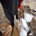 """Xem & Đọc - """"Cuộc chiến"""" cà rốt trên hòn đảo thỏ"""