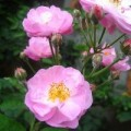 Sức khỏe - Chữa cảm nắng, cảm nóng với hoa tầm xuân