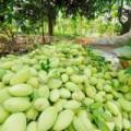 Mua sắm - Giá cả - Những loại rau củ khiến dân miền Tây mất ăn mất ngủ