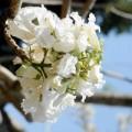 Tin tức - Ngắm hoa phượng trắng duy nhất ở Việt Nam