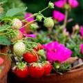 Nhà đẹp - Sốt xình xịch cách trồng dâu tây trong chậu