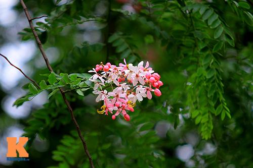 Muồng hoa đào rực rỡ góc trời Hà Nội - 12