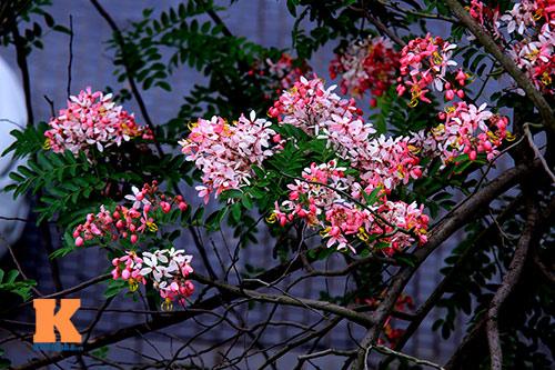 Muồng hoa đào rực rỡ góc trời Hà Nội - 2