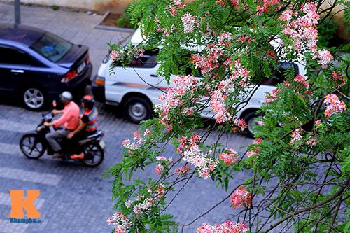 Muồng hoa đào rực rỡ góc trời Hà Nội - 15