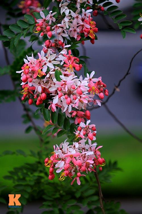 Muồng hoa đào rực rỡ góc trời Hà Nội - 3