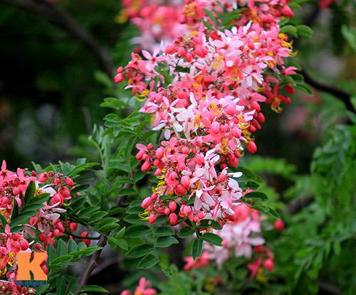 Muồng hoa đào rực rỡ góc trời Hà Nội - 6