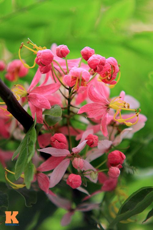 Muồng hoa đào rực rỡ góc trời Hà Nội - 5