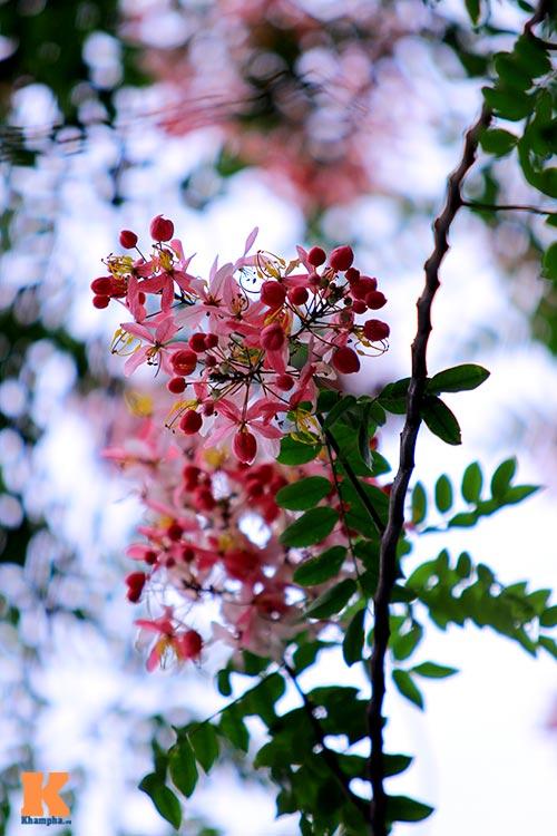 Muồng hoa đào rực rỡ góc trời Hà Nội - 13