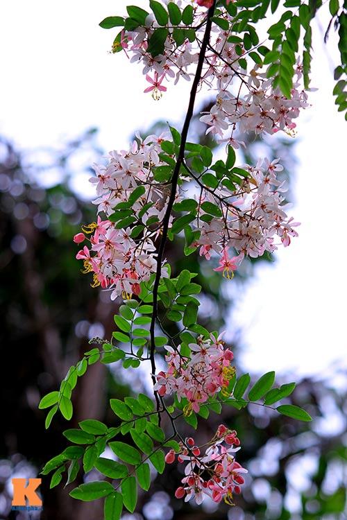 Muồng hoa đào rực rỡ góc trời Hà Nội - 10