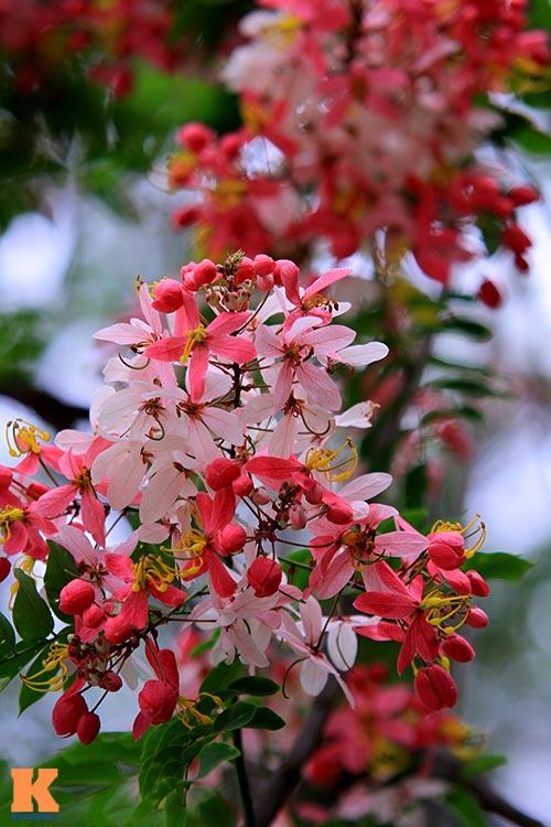 Muồng hoa đào rực rỡ góc trời Hà Nội - 11
