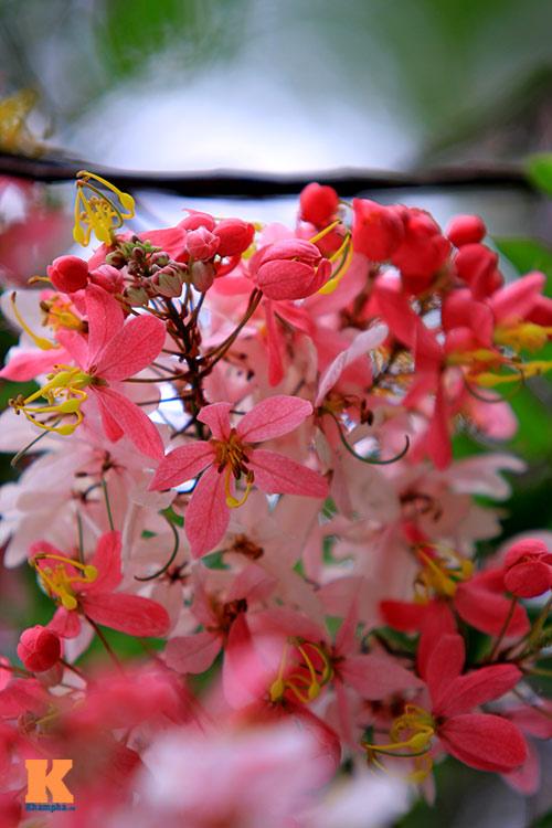 Muồng hoa đào rực rỡ góc trời Hà Nội - 9