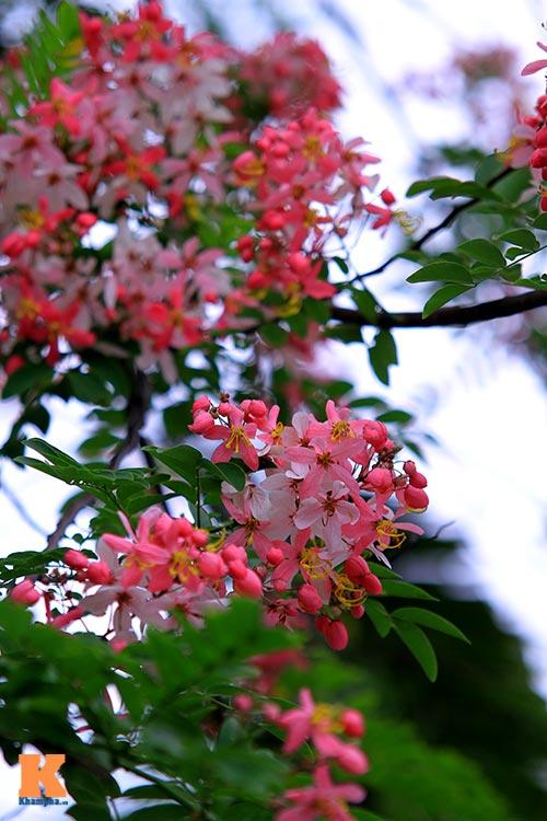 Muồng hoa đào rực rỡ góc trời Hà Nội - 8