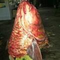Tin tức - Chuyện săn lùng loài cá khủng: Nghĩa địa cá hô