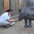 Tin tức - Mẹ chết, tê giác con không chịu ngủ một mình