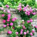 Nhà đẹp - Trồng hoa hồng leo ai nhìn cũng phải mê