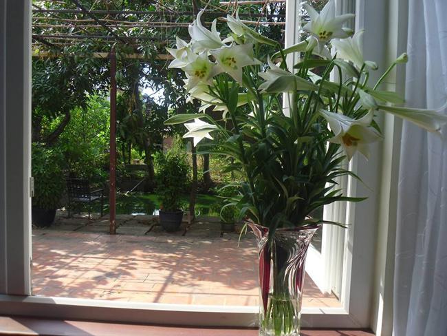 Dù ở trong miền Nam nhưng chị Yến Quỳnh cũng sắm được cho nhà mình một lọ hoa loa kèn 'khổng lồ'.