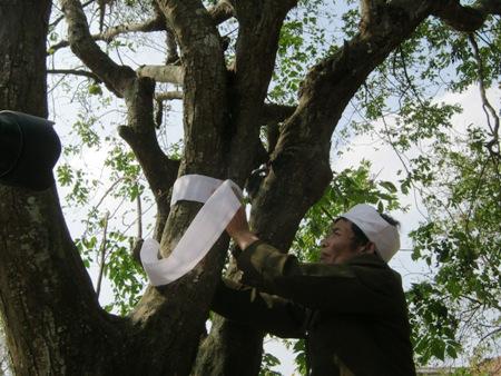 """Giải mã tục """"chít khăn tang"""" cho cây ở làng ven đô-1"""