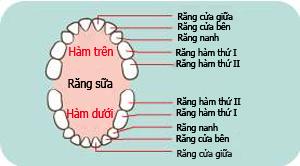 Trình tự mọc răng và cách vệ sinh răng miệng cho trẻ - 1
