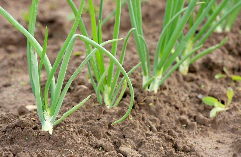 3 loại gia vị thiết yếu bạn nên tự trồng ngay hôm nay-9