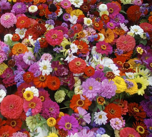 loai hoa may man cho 12 cung hoang dao - 1
