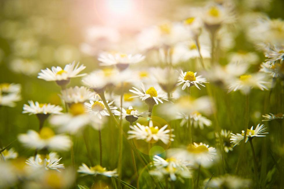 loai hoa may man cho 12 cung hoang dao - 7