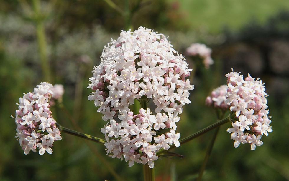 loai hoa may man cho 12 cung hoang dao - 6
