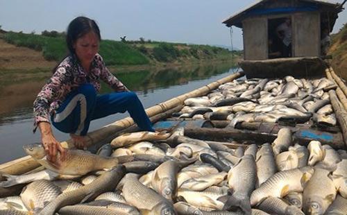 Cá chết trắng sông: Dân điêu đứng-1