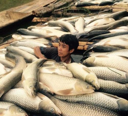 Cá chết trắng sông: Dân điêu đứng-5