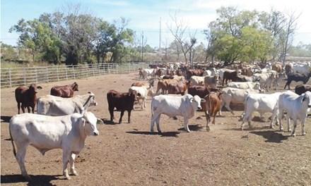 Hết thời ào ào nhập bò Úc về Việt Nam-1