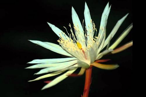 """10 loài hoa đắt đỏ, """"hiếm có khó tìm"""" nhất trên thế giới - 10"""