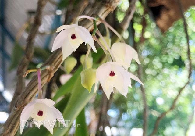 Lạ mắt lan rừng đưa về xuôi vẫn bung hoa dày đặc-3