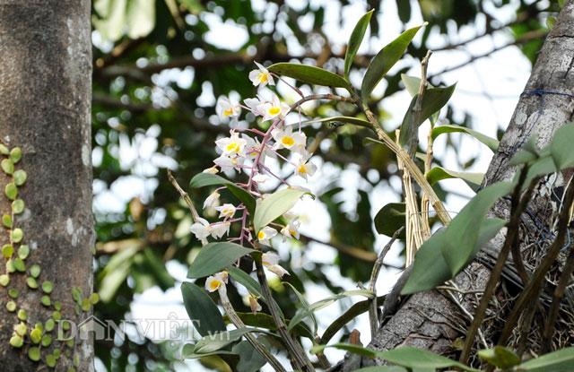 Lạ mắt lan rừng đưa về xuôi vẫn bung hoa dày đặc-7